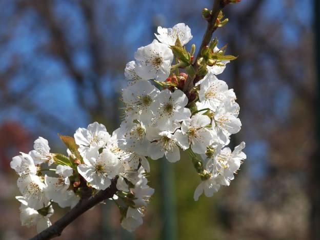 Amandier-en-fleurs